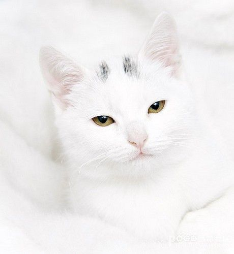 Very, very good attempt at camouflage, darling (almost all) snow white kitty. #white #cat #kitty #kitten #cute #pets #animals