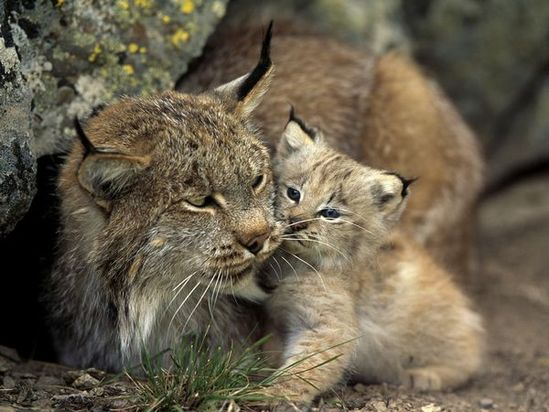 Lynx mama & baby