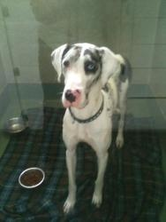 Please repost so I have a chance to get adopted!!  Nellie is an #adoptable Great Dane Dog at East Lake Pet Orphanage (ELPO) in #Dallas #TEXAS. She is about 1.5 years old. She's sweet but a bit timid still. She will blossom with love and care!