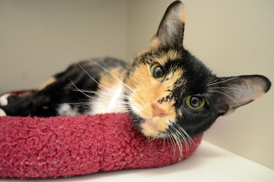 This beautiful girl would love a lap of her own. Please adopt her. NYC