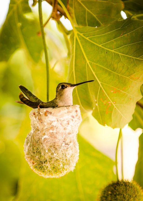 Mother hummingbird sitting on nest. Note that the minute nest is built upon a dangling sycamore fruit