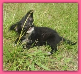 CHORKIE is an adoptable Chihuahua Dog in Warsaw, MO. PLAYFUL * SOCIAL * SMART THIS PUPPY IS NOT AT OUR RESCUE.  WE HAVE LISTED HER AS A COURTESY ONLY.  FOR MORE INFORMATION ON ADOPTION FEES  AND REQUI...