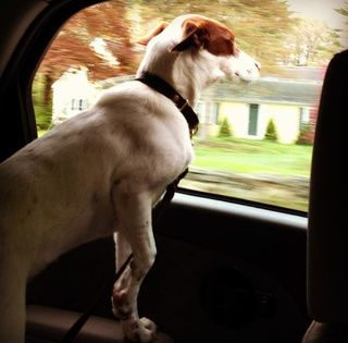 Dogs driving in cars