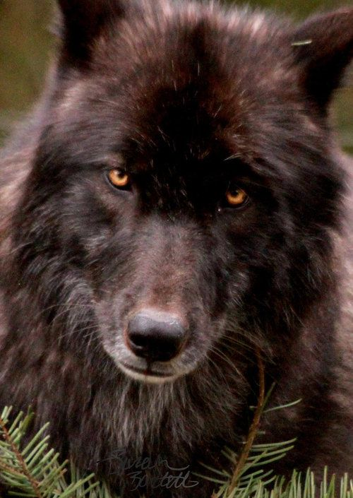 Two year old Black Wolf. Though he is black now and only has silver on his muzzle and chin, many black wolves turn completely silver as they grow older. Gorgeous animal.