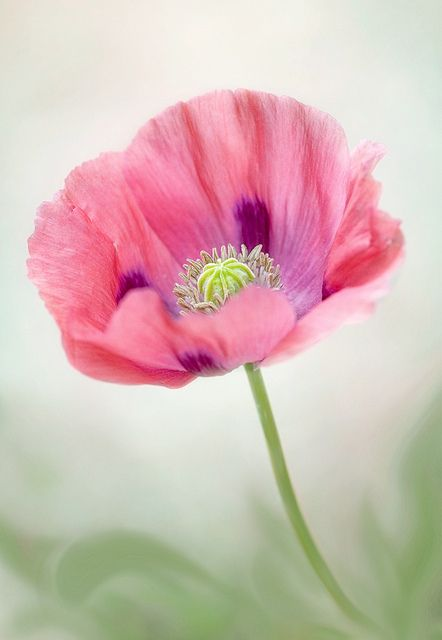 Pretty Poppy