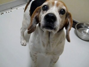 #MISSISSIPPI ~ ID 8603 EAGLE is a #senior Beagle Dog in #HornLake who's a friendly housetrained gent in need of a loving #adopter or #rescue - this shelter kills for space - HORN LAKE ANIMAL SHELTER   6410 E. Center St.      #HornLake MS 38637 mailto:hlshelter@...    Ph 662-393-5857
