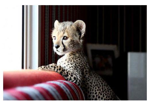 baby cheetah. soo cute