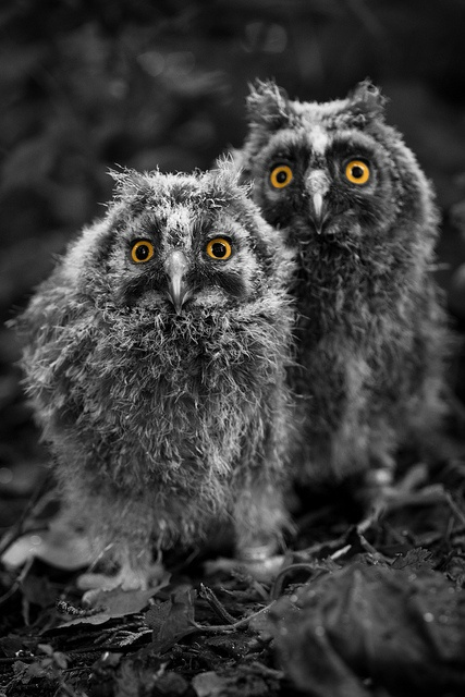 A pair of baby Long-Eared Owls