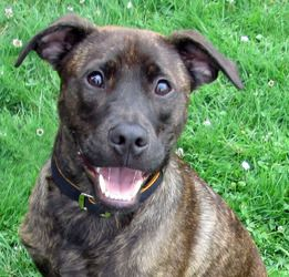 Bentley is an adoptable Shepherd Dog in Seattle, WA. This pup is in a foster home, and is currently not at the shelter. Please find instructions on how to adopt him by clicking on 'Read More About Thi...