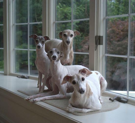 Awwwwww (Whippets, or Italian Greyhounds?)