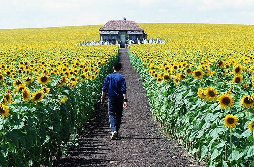 one day a field of sunflowers