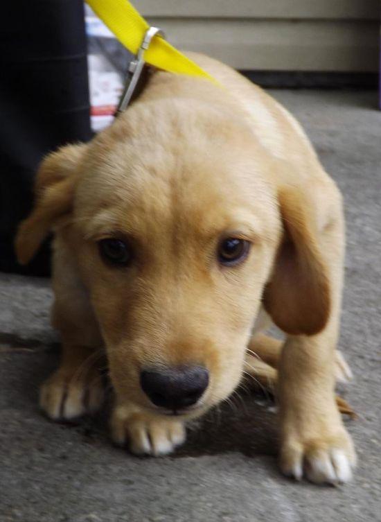 2QUIET (aka Whadda Face) Labrador Retriever • Baby • Male • Medium Animal Shelter - Floyd County KY Prestonsburg, KY  3 months old. www.petfinder.com...