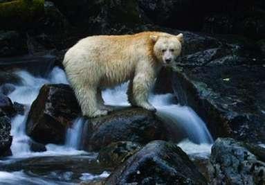 Paul Nicklen - 'Kermode' Bear