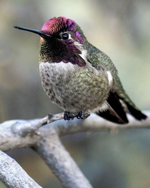 Hummingbird via Vintage Rose Garden