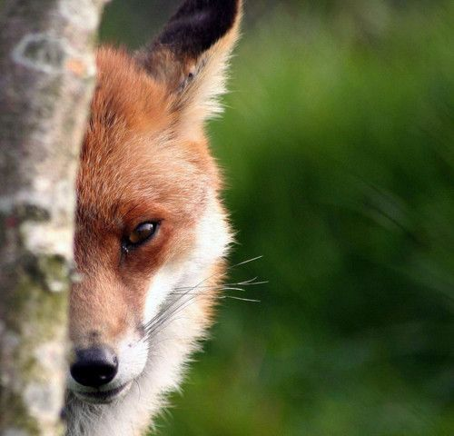 Coy fox.