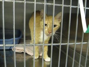 #FLORIDA #URGENT ~ ID 1018444 ALANA is an #adoptable Domestic Short Hair Cat in #Brooksville - HERNANDO COUNTY ANIMAL SERVICES     19450 Oliver St   #Brooksville FL 34601     mailto:ac@co.hern... mailto:scaskie@co...  P 352 796-5062