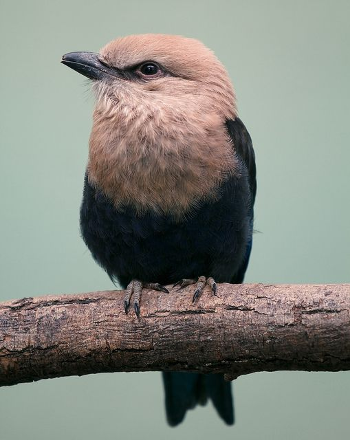 Blue-bellied roller.