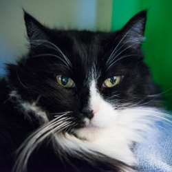 Tyson is an adoptable Domestic Long Hair Cat in San Mateo, CA. Video Available! Hi, I'm Tyson , a twelve-year-old altered male with a long-haired tuxedo coat. I'm a sweet, easy-going teddy bear of a c...