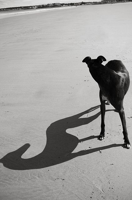 The shadow of a greyhound.