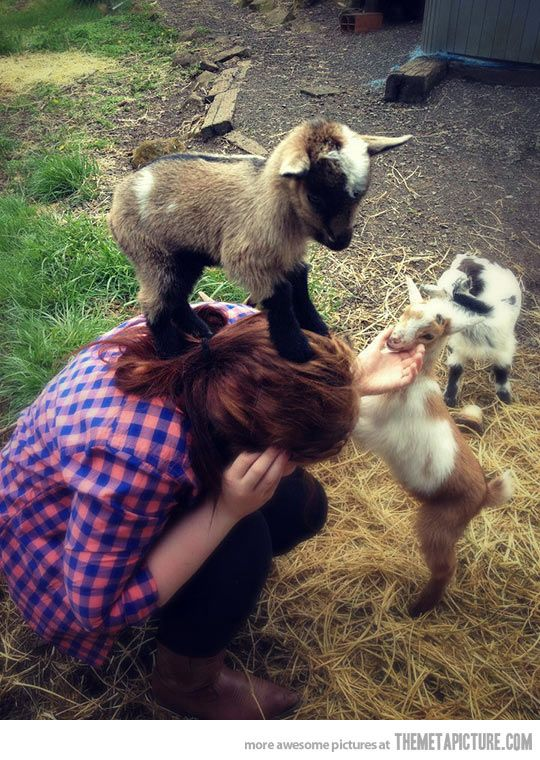 Baby goat conquers human…