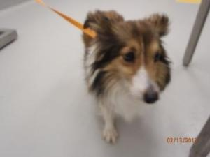 Joanie is an #adoptable Shetland Sheepdog #Sheltie Dog in #Irving, #TEXAS. Available:  NOTE: A dog designated as a senior is age 5+ and qualifies for the shelter's Seniors-for-Senior program. More informatio...
