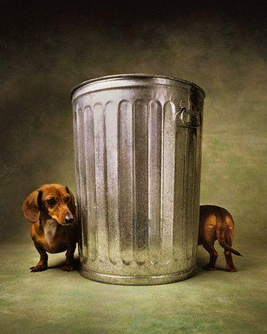 dachshunds.