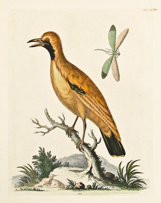 Golden Bird of Paradise