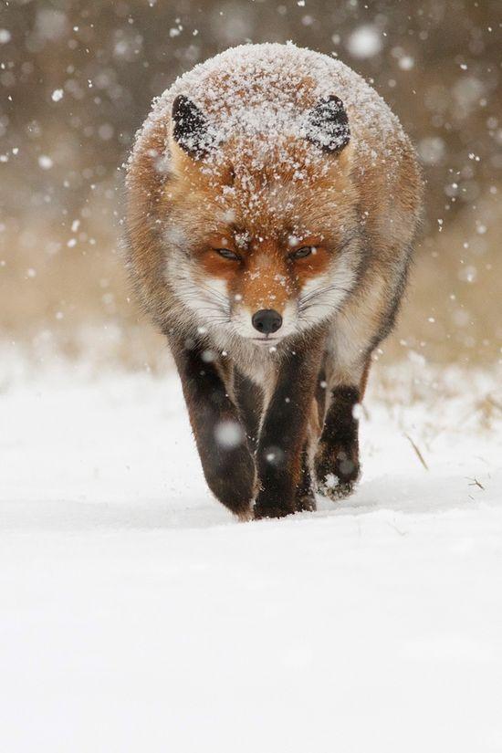 Snow Fox by Roeselien Raimond, via 500px