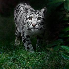 Clouded Leopard!
