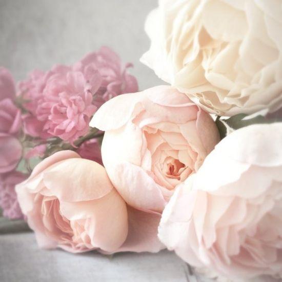 Rose Photograph Romantic Pink David Austin Roses
