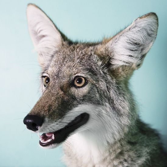 Coyote, by Annie Marie Musselman
