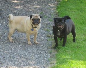 Frankie Pug is an #adoptable #Pug #Dog in #Seattle, WA. PLEASE, CONSIDER SPONSORING THIS COMPANION ANIMAL IN NEED. R.E.D. RELIES ON DONATIONS TO SAVE, SUPPORT AND OFTEN REHABILITATE LIVES. WHICH BRINGS LI...