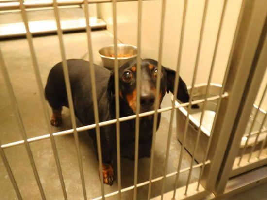 #GEORGIA #URGENT ~ ID 2013-11-100 is a 5yo Dachshund Doxie dog in need of a loving #adopter / #rescue at BARROW COUNTY ANIMAL CONTROL 610 Barrow Park Dr NW  Winder GA 30680 mailto:kperez@bar... Ph 770-307-3012