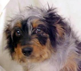 Bryce is an adoptable Australian Shepherd Dog in Norwich, CT. Hello! I am Bryce and I was left behind with my sister. I was sad, but I am grateful to be safe now....I am a mix of Australian Shepard, y...