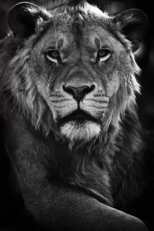 Lion Print - Wild Animals - Photo Art Prints - Close up - Nature Photos - Wildlife Photography - Nature Wall Art - Black and White Photo. $40.00, via Etsy.