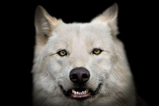 Wolf portrait by pattoise, via Flickr