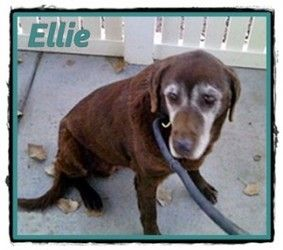 Ellie is an adoptable Labrador Retriever Dog in Albuquerque, NM. Meet Ellie, a senior female chocolate lab about 10 years old. Ellie came to us from the Albuquerque Animal Control where she impressed the staff with her sweet personality.  Ellie will make somebody a wonderful loyal companion...