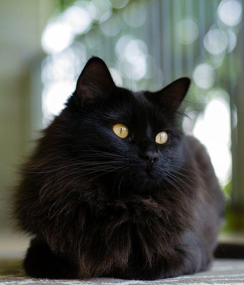 Beautiful black cat from photogenicfelines... via Tumblr #cats #black cats