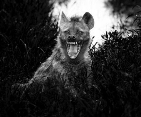Amazing black and white wild animal photography by Laurent Baheux, talented male photographer, who was born in Poitiers, France and studied at Poitiers University.