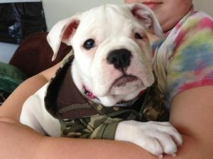 Ginger is an adoptable English Bulldog Dog in Meriden, CT. This is Ginger.. she is an approx. 6 weeks old pup that was bitten by her canine father days back, over food. This i...