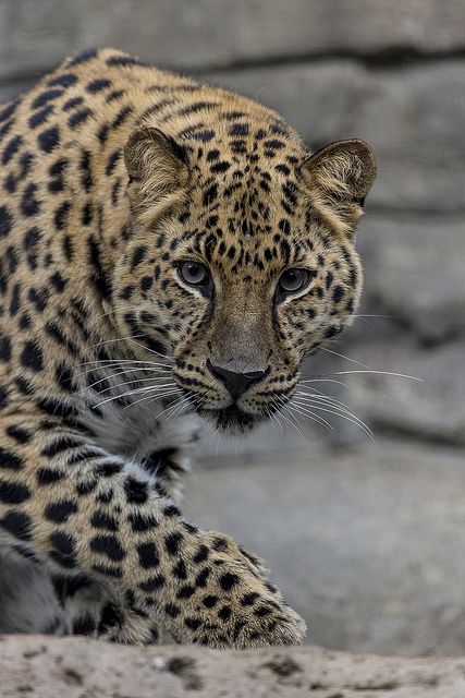 It's estimated that there are only about 40 Amur leopards left in the wild.