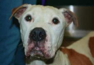Willow is an adoptable Pit Bull Terrier Dog in Calgary, AB. Willow is a 5 year old Pit bull from LA. She loves treats and hugs