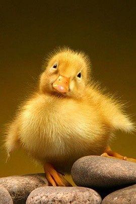 fuzzy yellow ducky