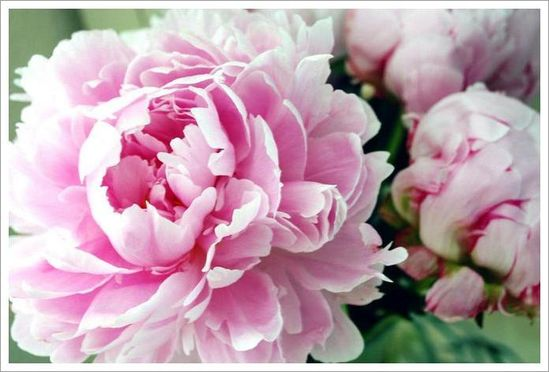 Peonies. Such a romantic and pretty flower!