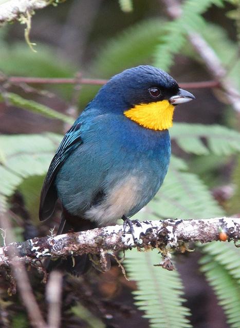 Iridosornis porphyrocephalus / Musguerito gargantilla / Purplish-mantled Tanager, via Flickr.