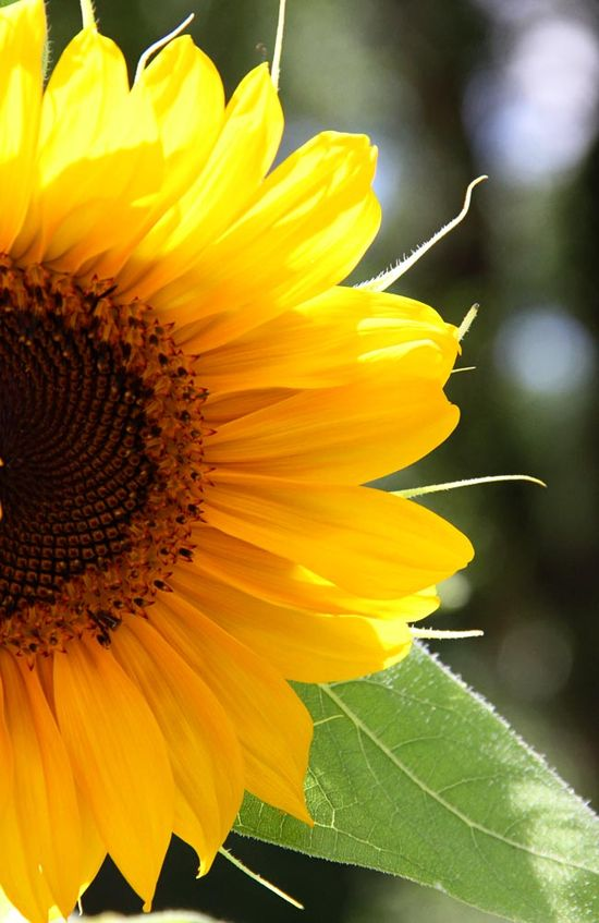 If I had a favourite flower this would be it. And if there ever was a happy flower, it would have to be the sunflower.