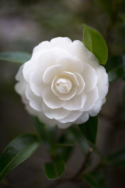 Gorgeous white Camillia
