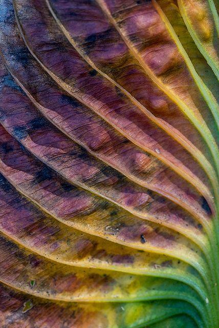 Hosta Leaf macro