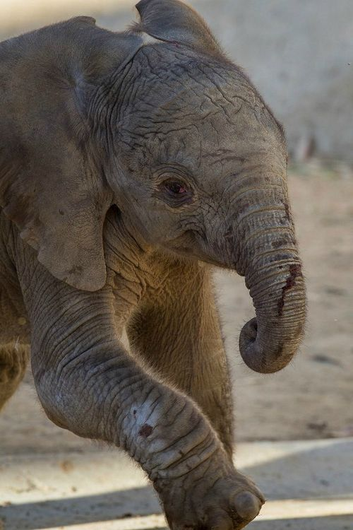 New baby elephant! Pictures and video of her first wobbly steps at the San Diego Zoo. @Jennifer Derry