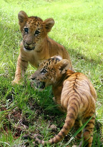 i LOVE baby tigers!